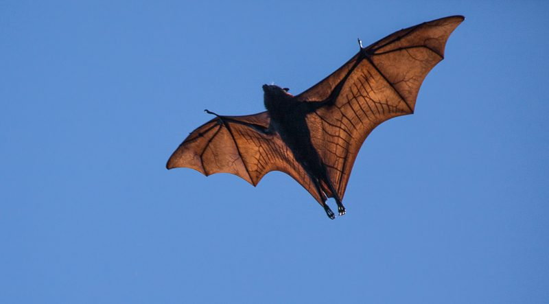 The Flying Fox