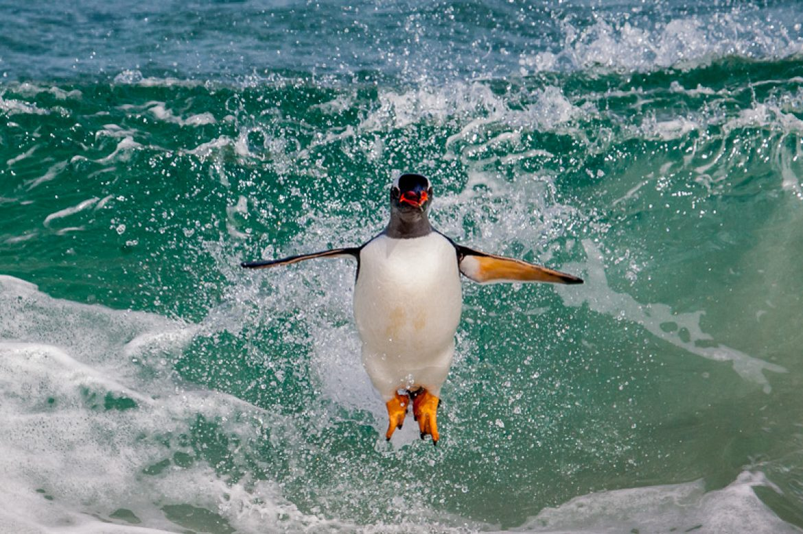Leaping Gentoo penguin on Carcass Is, the Falklands